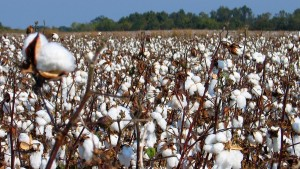ICAC Expects Stable World Cotton Trade in 2015/16