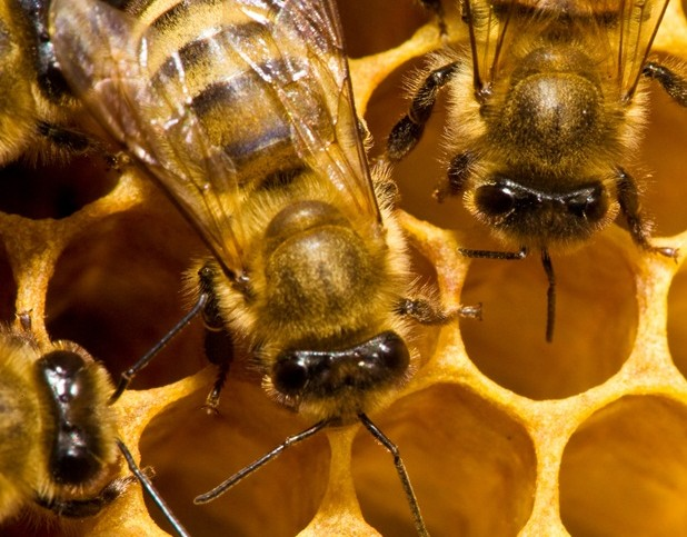 Webcast Offers Tips to Minimize Pest Management Impact on Bees
