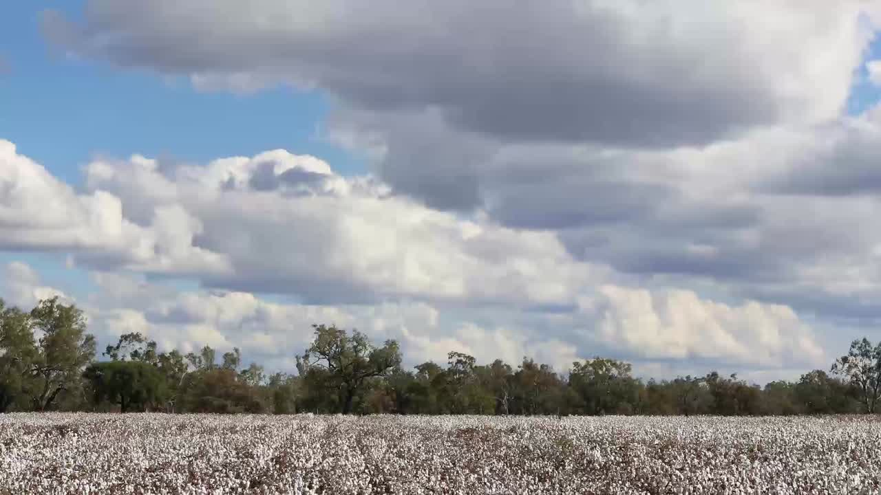 Economists are Bullish On Cotton in 2014