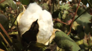 Louisiana Cotton Plantings Down for 2020