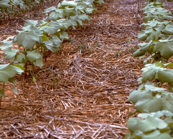 USDA Crop Progress: More Squares, First Bolls, Positive Conditions