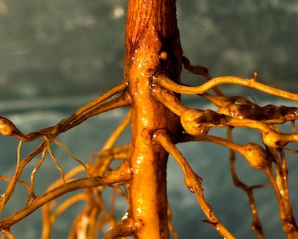 Warm Spring Could Spark Nematode Activity