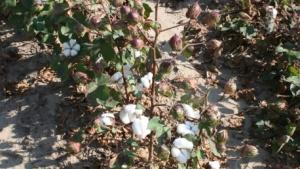 Rain Stalls Potentially Record Arkansas Cotton Harvest