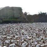 Stoneville harvest 2014 web