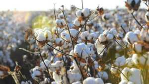 Agenda Set for Tennessee Cotton Focus Meeting