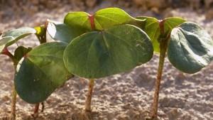 Believe It or Not: USDA Prospective Plantings Project 13.7 Million Cotton Acres