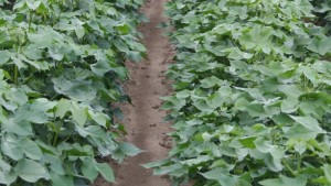 Shurley: New Year Cotton Policy Update