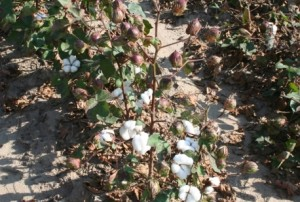 Defoliated Cotton Web