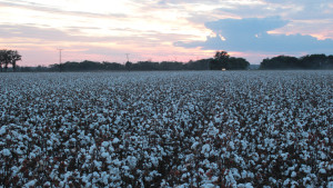 Cotton Highlights from November WASDE Report