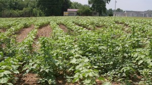 Pigweed Management Key for Georgia Cotton Farmers