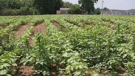 Pigweed Management Key for Georgia Cotton Farmers