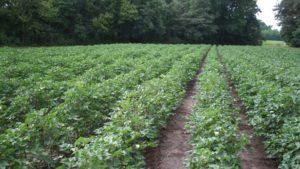 New Webcast Focuses on Auxin Herbicide Drift on Non-Tolerant Cotton