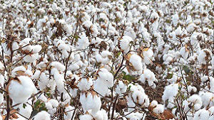 BASF Adds Five Additional Cotton Varieties for 2019