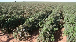 USDA: Planted Cotton Acres Up 20% in 2017