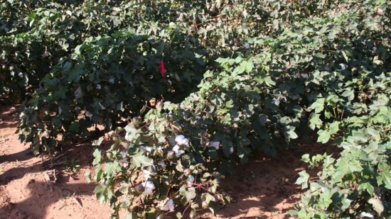 Cotton Sessions from West TX Ag Chemicals Institute Now Online