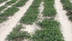 Growers Should Keep Timely Replanting Options in Mind