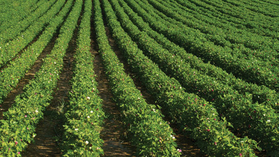 Cotton Highlights from July WASDE Report