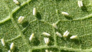 UGA Team Working to Manage Whitefly Losses