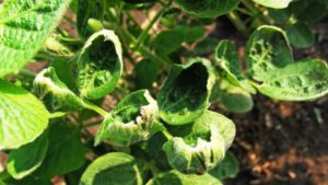 Arkansas Researchers Share Dicamba Volatility Studies