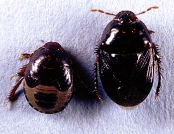 Beating Burrower Bugs