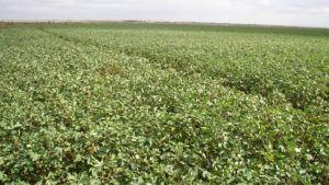 Several Factors Vital to U.S. Cotton Industry Growth