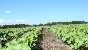 Conservation Grant to Fund GA Cover Crop Research