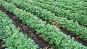 Better for Soybeans: Fall or Spring Applications?