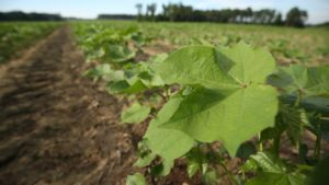 USDA Projects 12 Million U.S. Cotton Acres for 2021