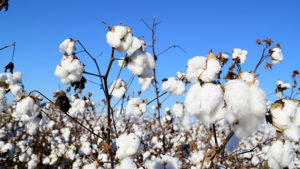 PhytoGen Thriving in the Southeast — Controlling Pigweed in Challenging Conditions