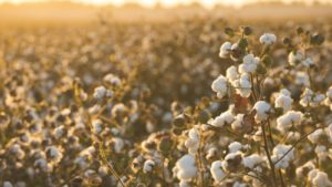 Cotton Remains King in the Tennessee Valley