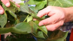 Multiple Pests Complicating NC Bollworm Management