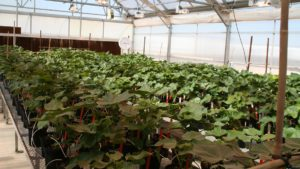 Georgia Plant Breeders Awarded Grants for Cotton and Peanut Studies