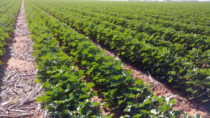 Believe It! Cotton Fundamentals Point to 95 Cents.