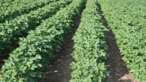 Cotton Highlights from August WASDE Report