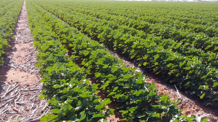 Cotton Grower - Dedicated Coverage and Reporting of the Cotton Industry
