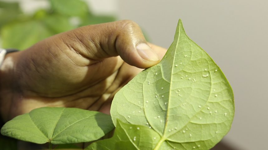 Whitefly Pressure a Concern in Late Planted Cotton