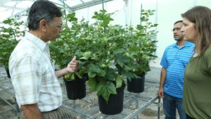 Ultra-Low Gossypol Cottonseed for Human Nutrition Approved by USDA APHIS