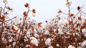 Crop Progress: Great Cotton Condition as Harvest Increases