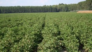 Cotton Highlights from September WASDE Report