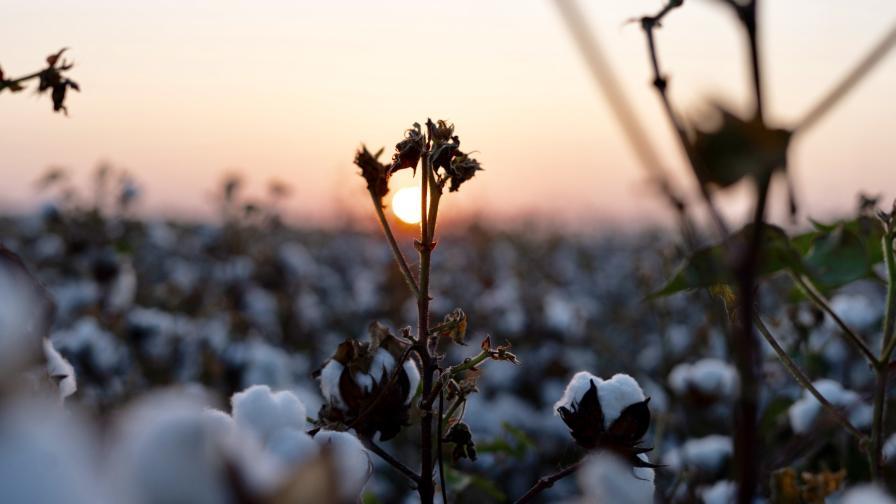 Cotton closeup sun